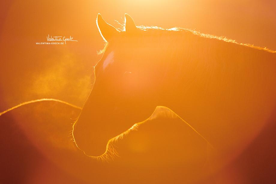 Quarter-Horse-Stute Daisy ist im Gegenlicht gar nicht mehr eindeutig zu identifizieren. Hier geht steht die Abend-Stimmung im Vordergrund..